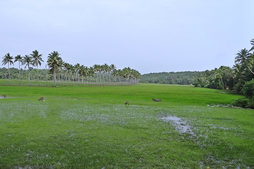 Pasture, Low-land, Buffaloes, Coconut Groves, Goa