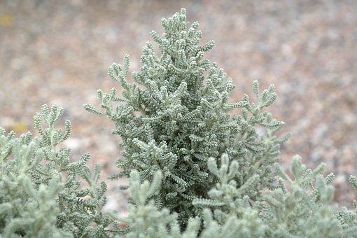 Chamaecyparissus, Dwarf Shrub, Bush
