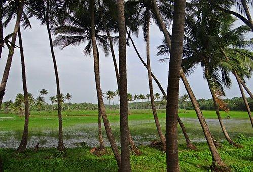 Coconut Groves, Pasture, Field, Goa, India