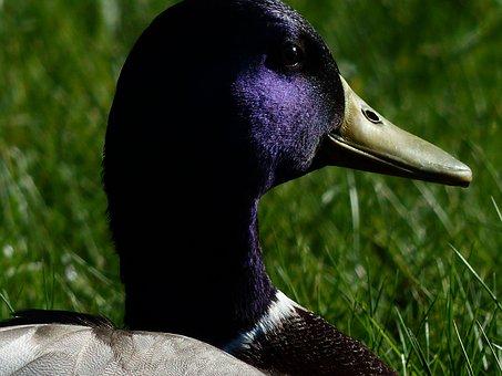 Mallard, Drake, Males, Duck Head, Shine, Violet, Purple