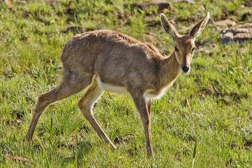 Female Buck, Doe, Deer, Delicate, Frightened, Scared