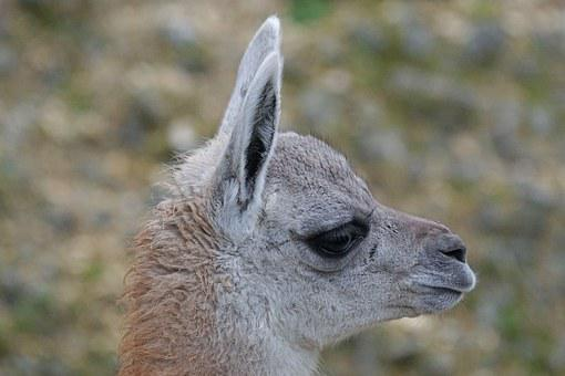 Guanaco, Young Animal, Paarhufer, Calluses Ohler