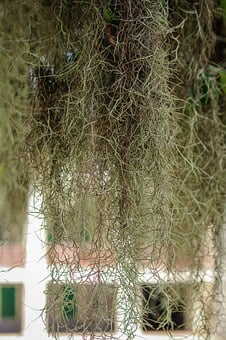 Spanish Moss, Hanging Moss, Draping Moss, Epiphyte