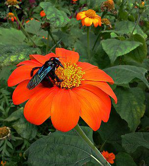 Flower, Bumble Bee, Insect, Bee, Mexican Sunflower