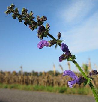 Salvia Pratensis, Meadow Clary, Meadow Sage, Wildflower