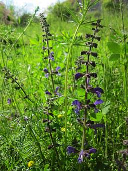 Salvia Pratensis, Meadow Clary, Meadow Sage, Herb