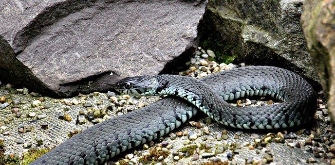 Grass Snake, Snake, Reptile, Natter, Nature