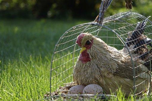 Chicken, Cage, Grass, Egg, Sun, Nature, Garden, Hen
