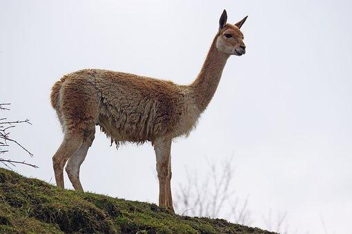 Vicuna, Paarhufer, Calluses Ohler, Camel-like