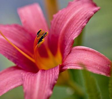 Lily, Flower, Blossoming, Plant, Boost, Petals, Stamens