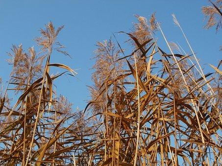 Phragmites, Reed Beds, Common, Plant, Reed, Wetland