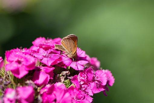 Flower, Phlox, Pink, Pink Phlox, Blossom, Bloom