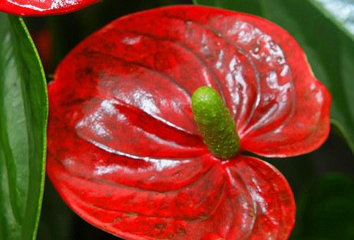 Anthurium, Red, Flower Flask, Shiny, Plant