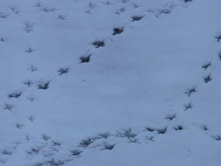 Bird Tracks, Animal Track, Reprint, Snow, Traces