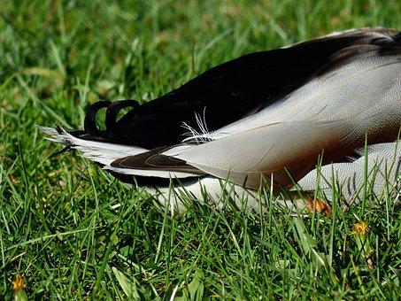 Rump, Duck, Ducktail, Mallard, Drake, Plumage, Feather