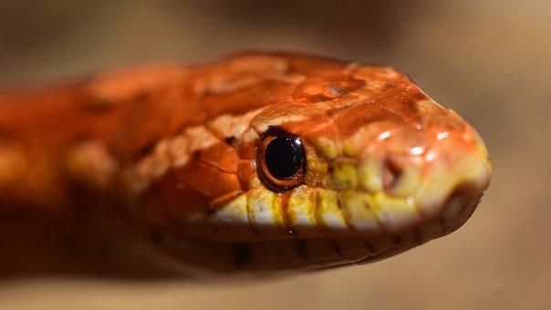 Snake, Eye, Corn Snake, Scale, Close Up, Reptile