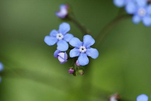 Bruner, Large, Flower, Perennial, Garden, Spring, Blue