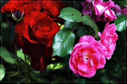 Garden Roses, Nature, Flowers, Garden Flowers, Spring