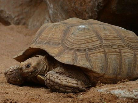 African Spurred Tortoise, Turtle, Large, Giant Tortoise