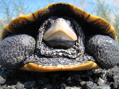 Diamondback, Terrapin, Turtle, Macro, Close-up, Large