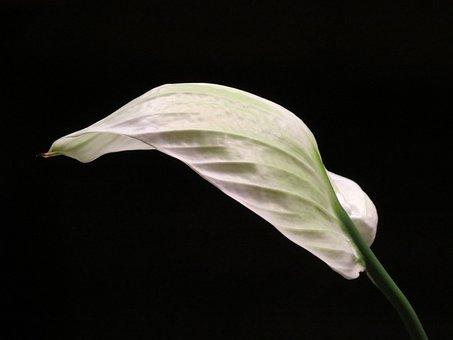 Vaginal Sheet, Leaf, White, Spathiphyllum, Flower