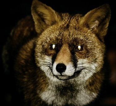 Fox, Red Fox, Night, Wildlife, Animal, Red, Fur, Wild