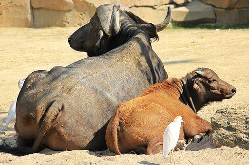 African Buffalo, Buffalo, Wild Animals, Africa, Animals