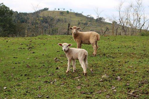 Animals, Field, Farm, Rural, Sheep, Animal World