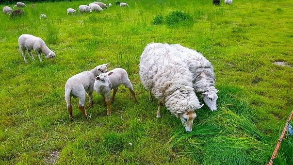 Sheep, Lamb, Puppies, Animal, Baby Animal, Sweet