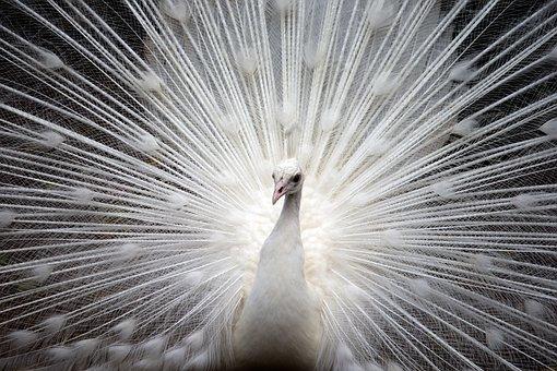 Peacock, White, Bird, Nature, Beautiful, Feather