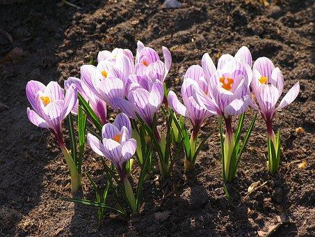Crocus, Cold, Flower, Spring, Bloom, Pale Lilac Flower