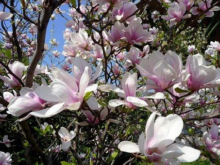 Spring, Tulip Tree, Magnolia, Wood, Blooms At, Floral