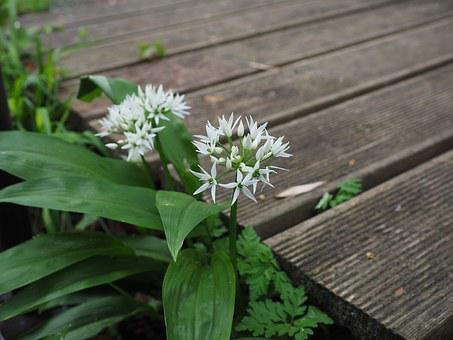 Bear's Garlic, Inflorescence, Blossom, Bloom, White
