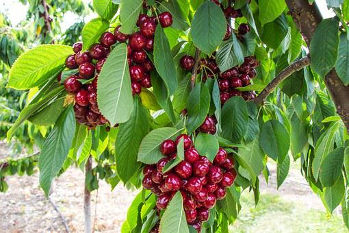 Cherry, Tree, Fruit, Kelowna, Okanagan Valley, Blossom