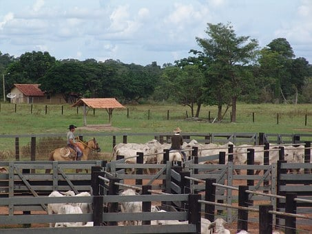 Corral, Boi, Nellore, Cattle, Brazilian Cattle, Herd
