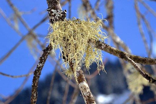 Lichen, Branch, Bark, Sky, Tree, Forest, Mountain