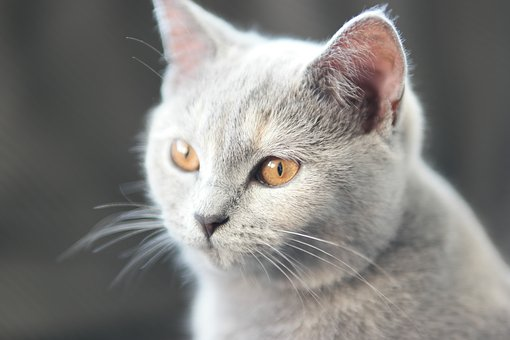 Cat, Britsh Shorthair, Mix Scottish Fold