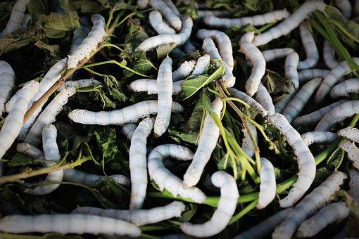 Silkworm, Silk, Worm, Cocoon, Closeup, Thailand