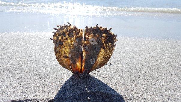 Shell, Oyster, Gloss, Creature, Crassostrea Pacifica