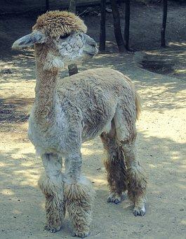 Alpaca, Cub, Artistic Conception, Animal, Zoo