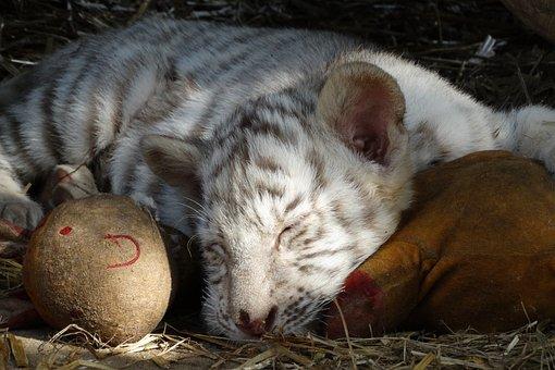 Cub, White Tiger, Feline, Hug, Safe
