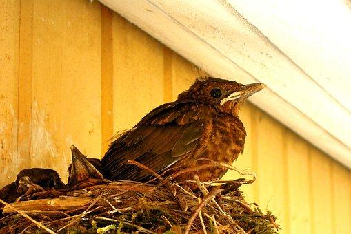 Bird, Nest, Thrush, Blackbird, Cub, The Bird's Nest
