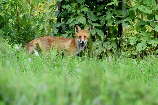 Fox, Cute, Red Fox, Wild, Wildlife, Young, Predator