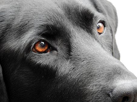 Dog, Eyes, Animal, Pet, View, Labrador, Friend, Good