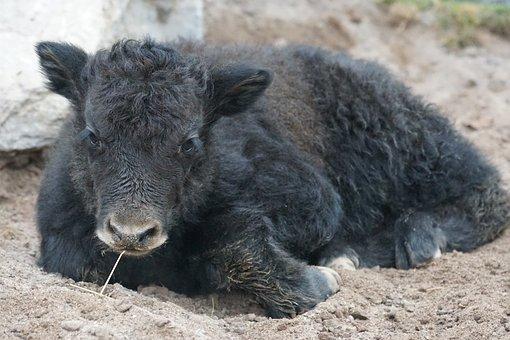 Yak, Beef, Domestic Cattle, Livestock