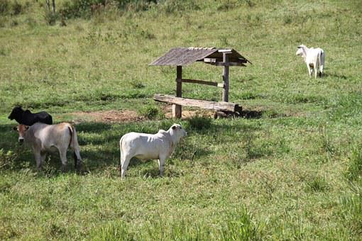 Cattle, Roça, Field, Animal, Boi, Cow, Farm, Green