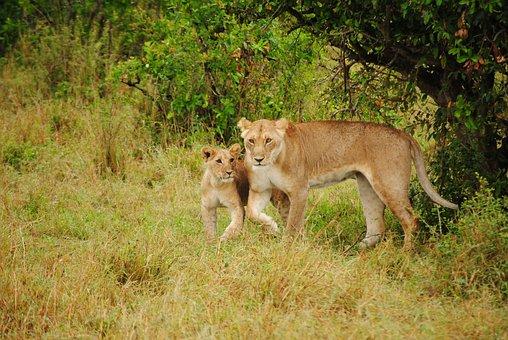 Leone, Puppy, Animals, Fauna, Africa, Predators, Kenya
