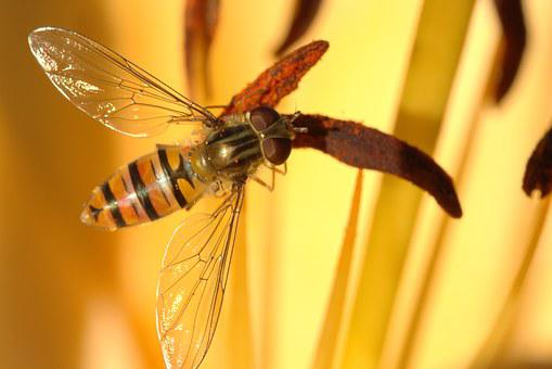 Episyrphus Balteatus, Hover Fly, Fly, Close Up, Face