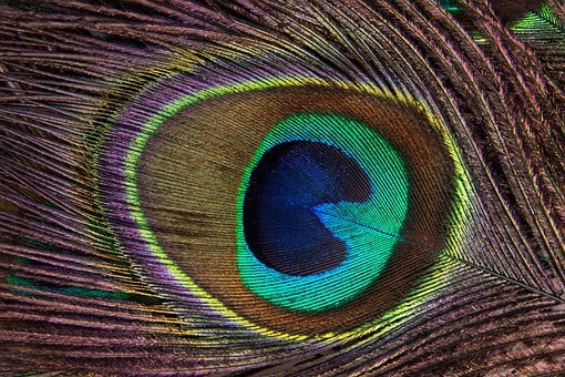 Peacock Feather, Structure, Fund, Peacock