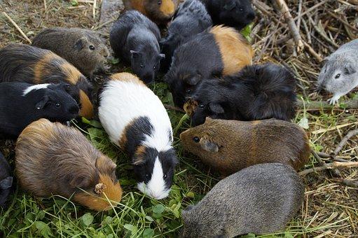 Guinea Pig, Many, Mass, Quantitative